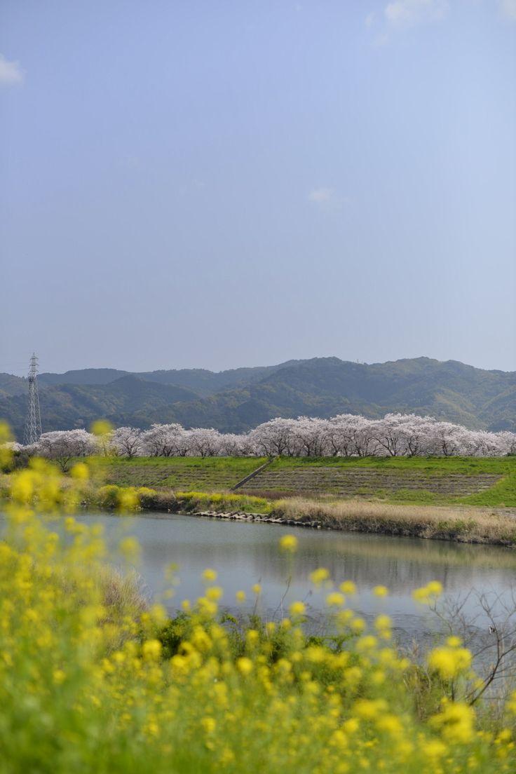 新船小屋堤防桜並木
